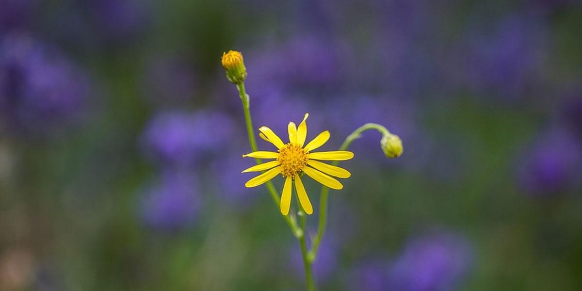 ngjashmeria lule