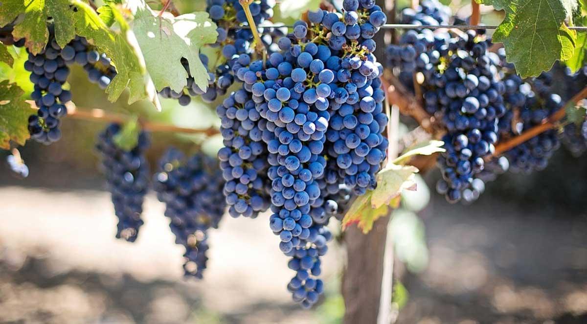 vreshta rrushi fruta